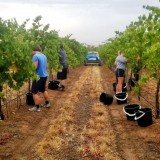 Hand Picking Shiraz